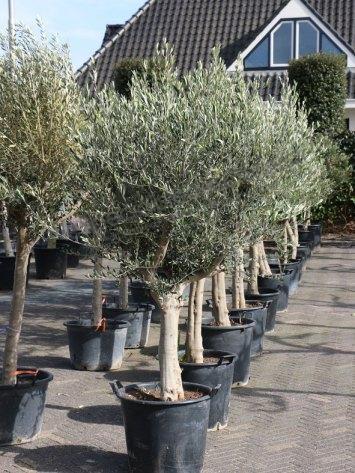 olivier information sur les produits olivier vivace sp cialiste des oliviers. Black Bedroom Furniture Sets. Home Design Ideas